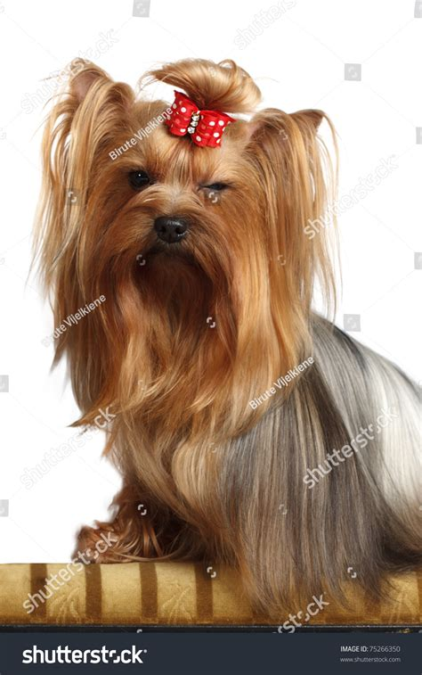 yorkie hair color terrier color with hair bow giving a wink stock photo 75266350