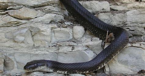 how to get rid of snakes in your yard and home the