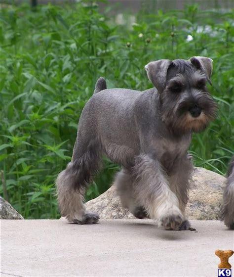 mini schnauser perfect haircut miniature schnauzer www pixshark com images galleries