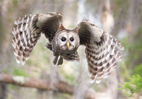 Owl In the silent flight of owls explained audubon