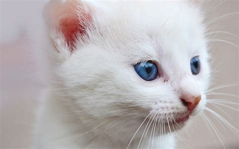 blue eyed names blue white cat www pixshark images galleries with a bite