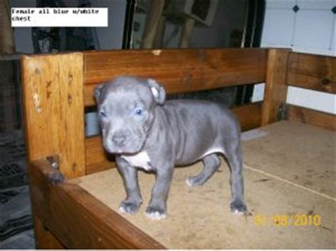 pitbull puppies for sale mn american pit bull terrier puppies in minnesota