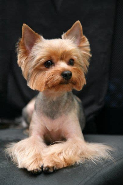 hairstyle for terrier terrier haircut yorkie haircuts