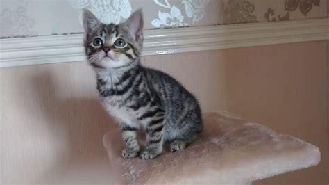 ragdoll mix beautiful shorthair ragdoll mix kittens