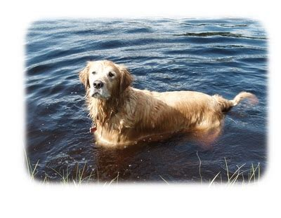 grrowls golden retriever rescue adopt golden retriever rescue of central new york