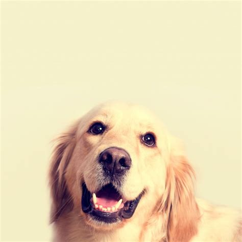 perros golden retriever gratis golden retriever fotos y vectores gratis