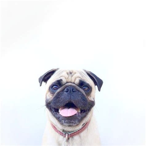 smiling pug smiling pug s are my favorite animal