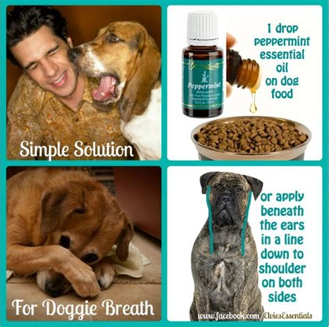 can dogs peppermint 94 best images about essential oils for dogs on allergies care and