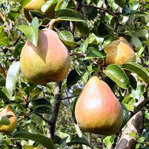 fruit tree nursery oregon conference pear tree self fertile scotplants direct