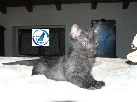 regalo gattini pavia gattini in adozione pavia e provincia regalo gattini