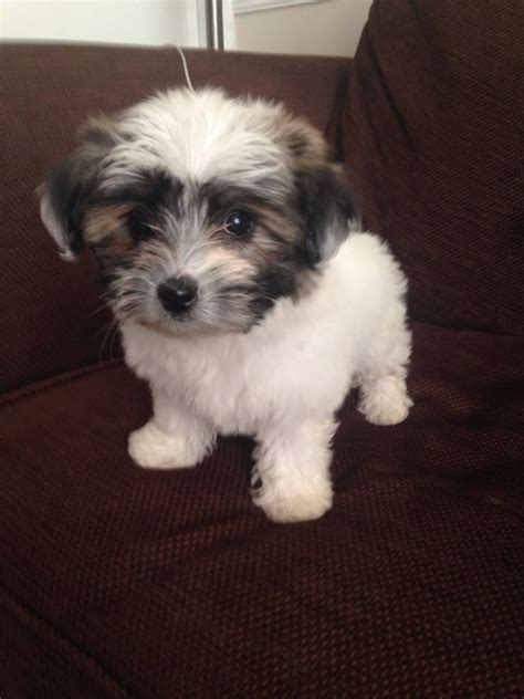 havanese coton mix coton mix puppies newcastle upon tyne tyne and wear pets4homes
