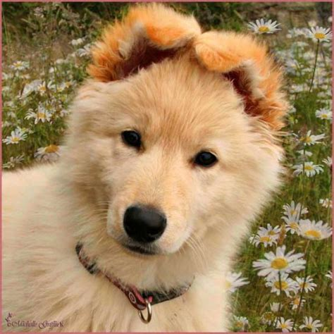 fluffy german shepherd puppy images of fluffy puppies breeds picture