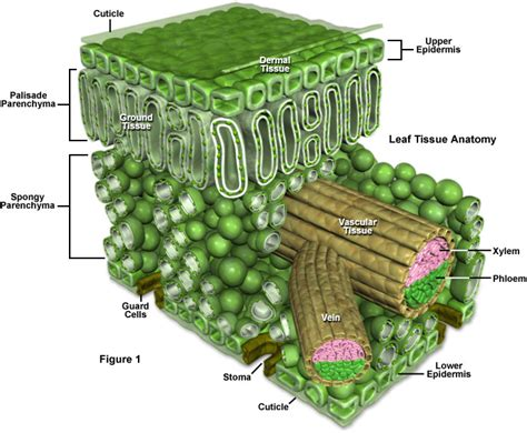 cross section of a leaf parts and functions molecular expressions cell biology plant cell structure
