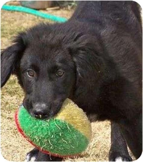 border collie golden retriever mix rescue frankie adopted puppy patterson ca golden retriever border collie mix