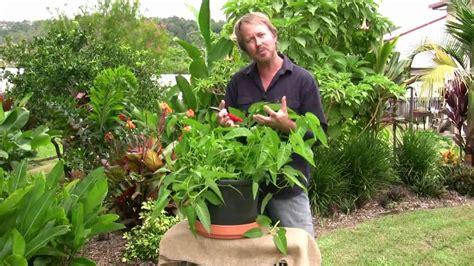 Vegetable Gardening: Growing kang kong   easy leafy greens