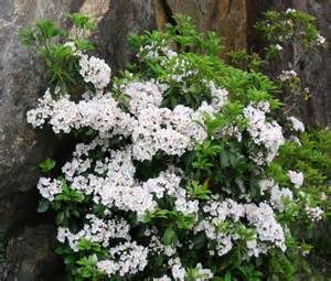 mountain laurel native tn plants pinterest