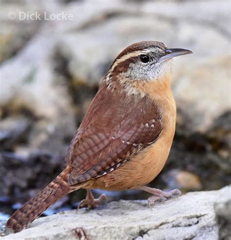 texas hill country bird pictures