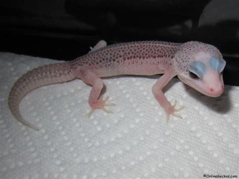 Do Geckos Shed by 100 Do Leopard Geckos Shed Their Tails Difference Between Leopard Gecko And Tailed