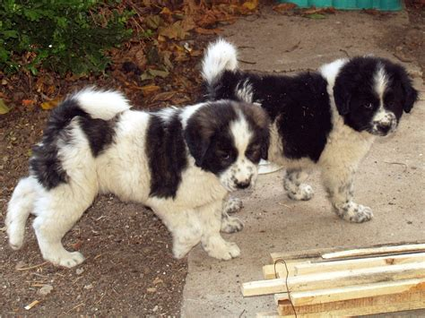 dogs puppies karakachan puppies photo and wallpaper beautiful karakachan puppies pictures