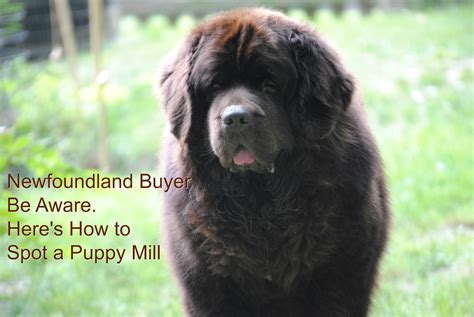 newfoundland puppies ohio newfoundland buyer be aware here s how to spot a puppy mill mybrownnewfies
