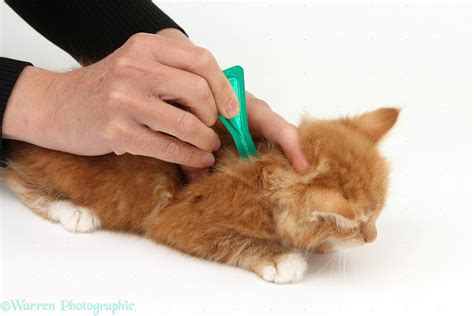 Shoo Kutu Kucing applying spot on flea treatment to a kitten photo