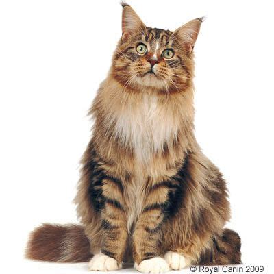 Royal Canine Maine Coon 400gr breed nutrition discount products at zooplus royal canin
