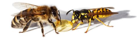 wasp control vancouver the bee and wasp removal experts