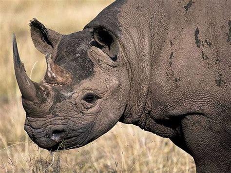 black rhino super animal rhinoceros