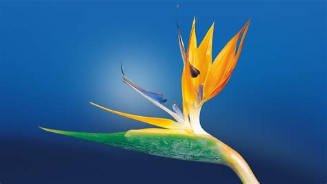images of flowers bird of paradise flower uhd wallpaper new hd wallpapers