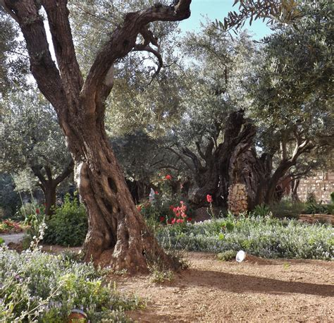 In The Garden Of Gethsemane by Garden Of Gethsemane Pictures How Are The Olive Trees