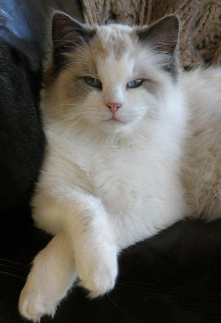 Ragdoll Cats Shedding by 120 Best Images About Animaux Chats Races On