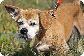 pug puppies albany ny pekingese pug mix for adoption in albany new york marley