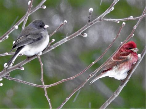 junco purple finch hanging together feederwatch