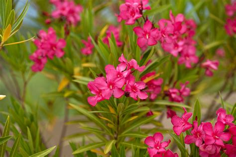 poisonous flowering shrub poisonous plants in your garden toxic plants that could