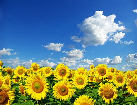 sunflower fields sunflower field www imgkid com the image kid has it