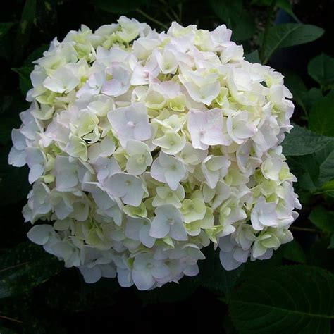 Climbing Plants For Clay Soil - e s blushing bride hydrangea