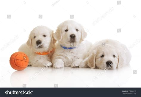golden retriever puppies 1 month small onemonth golden retriever puppy stock photo 152469797
