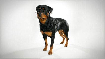 rottweiler puppies for sale in bc rottweiler puppies for sale bc dogs our friends photo