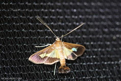 moths of costa rica s rainforest books strange moth costa rica d 0348