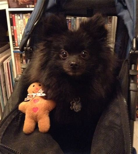 mini pomeranian rescue a pomeranian rescue story pooh mater and