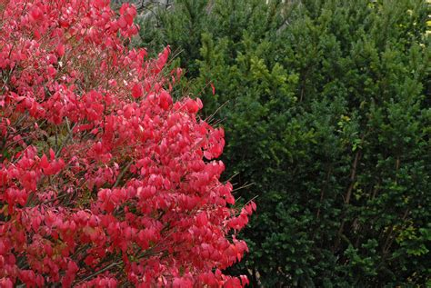 burning bush growth information burning bush care and maintenance