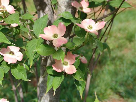top 28 pink dogwood growth rate how much do trees