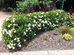 gardenia giardino come curare la gardenia avr 242 cura di te