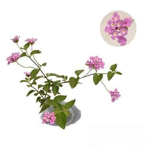 Beli Bibit Daun Ungu jual tanaman tembelekan ungu purple lantana bibit