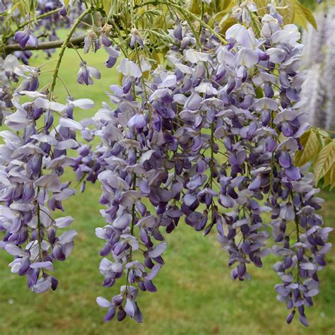 chinese wisteria wisteria sinensis buy chinese wisteria wisteria sinensis prolific 163 89 99