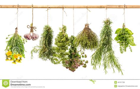 hanging bunches of fresh spicy herbs isolated on white hanging bunches of fresh spicy herbs herbal medicine