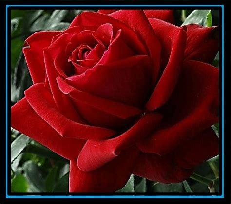 imagenes de buenos dias con rosas rosas rojas de buenos dias para enviar a la persona