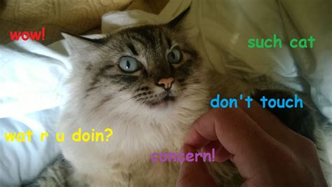 Cate Meme - cate doge know your meme