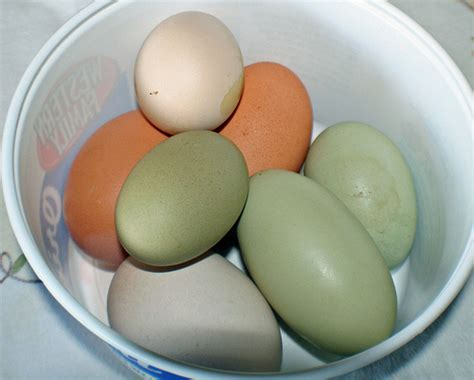 chickens that lay colored eggs 4968018687 d252964546 z jpg