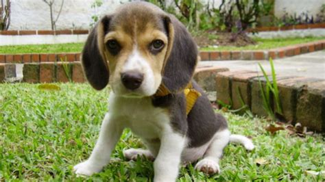 beagle puppies san diego rescued beagles puppies look for loving home in san diego times of san diego